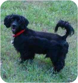 Cocker Spaniel/Dachshund Mix Dog for adoption in Sugarland, Texas - Duke