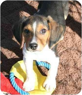 Beagle Puppy for adoption in Waldorf, Maryland - Tyler Florence