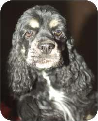 Cocker Spaniel Mix Dog for adoption in Tangent, Oregon - Suzan