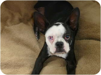 Boston Terrier/French Bulldog Mix Puppy for adoption in conyers, Georgia - Sparrow