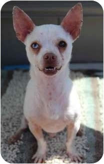 Chihuahua/Terrier (Unknown Type, Small) Mix Dog for adoption in Yuba City, California - Fred