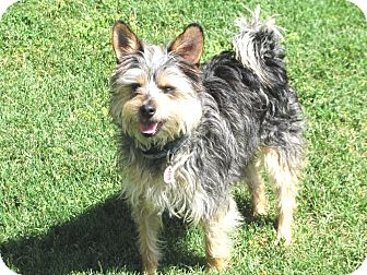 Yorkie, Yorkshire Terrier/Terrier (Unknown Type, Small) Mix Dog for adoption in Winnetka, California - Toto