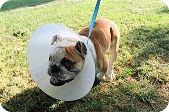 English Bulldog Dog for adoption in Winder, Georgia - Doug
