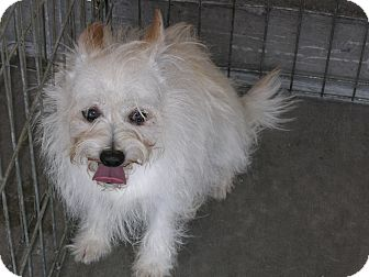 Maltese/Terrier (Unknown Type, Small) Mix Dog for adoption in Las Vegas, Nevada - Tibbett -N