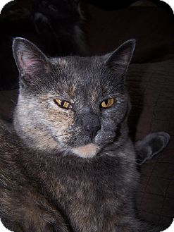 Domestic Shorthair Cat for adoption in Sheboygan, Wisconsin - Lucy