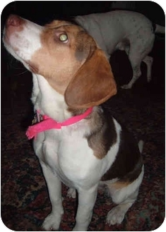 Beagle Mix Puppy for adoption in Frankfort, Illinois - Bonnie