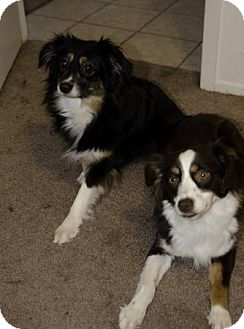 Australian Shepherd Dog for adoption in Mesquite, Texas - Penny