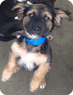 Spaniel (Unknown Type)/Retriever (Unknown Type) Mix Puppy for adoption in Encino, California - Danny