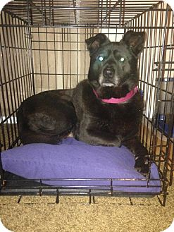 Shar Pei/Labrador Retriever Mix Dog for adoption in Laingsburg, Michigan - Chulo
