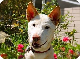 Jindo/Shepherd (Unknown Type) Mix Puppy for adoption in Los Angeles, California - Hatchi