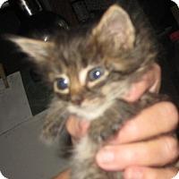 Adopt A Pet :: Niniane - Dallas, TX
