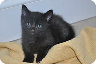 Domestic Shorthair Kitten for adoption in New Smyrna Beach, Florida - Midnight