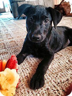 Terrier (Unknown Type, Medium)/Labrador Retriever Mix Puppy for adoption in La Crosse, Wisconsin - Mini