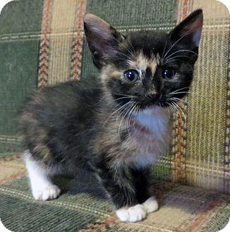 Domestic Shorthair Kitten for adoption in Marseilles, Illinois - Paige's Calico Kitten