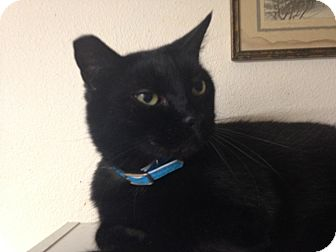 American Shorthair Cat for adoption in Kelso/Longview, Washington - Ozzie