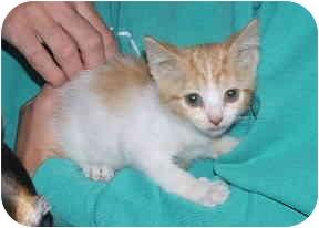 Domestic Shorthair Kitten for adoption in Aledo, Illinois - Penny