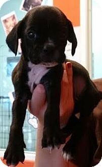 Boxer/Cocker Spaniel Mix Puppy for adoption in Westminster, California - Churro