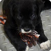 Adopt A Pet :: Onyx - Burleson, TX