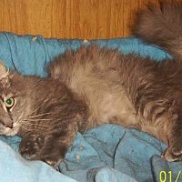 Domestic Mediumhair Cat for adoption in Chapman Mills, Ottawa, Ontario - BUTTONS