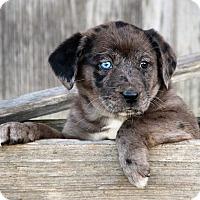Adopt A Pet :: *Lola - PENDING - Westport, CT