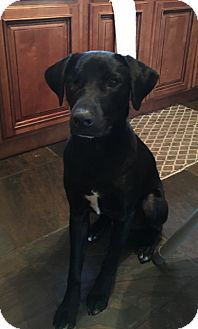 Labrador Retriever Mix Dog for adoption in Destrehan, Louisiana - Fetty