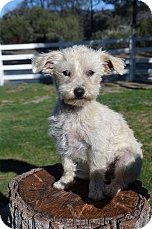 Terrier (Unknown Type, Small)/Poodle (Toy or Tea Cup) Mix Dog for adoption in Mountain Center, California - Dash