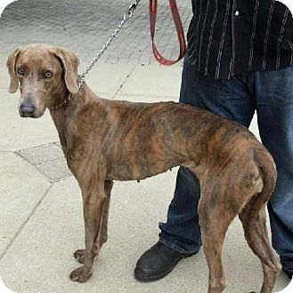 Weimaraner/Greyhound Mix Dog for adoption in Columbus, Ohio - Sadie