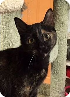 Domestic Shorthair Cat for adoption in Porter, Texas - Dixie