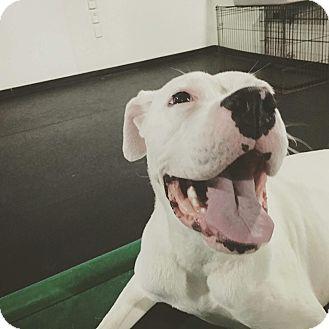 Boxer Mix Dog for adoption in Vancouver, British Columbia - Zeus