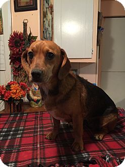 Dachshund Dog for adoption in Kittery, Maine - Stormy