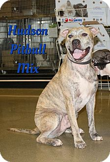 Pit Bull Terrier Mix Dog for adoption in Cheney, Kansas - Hudson