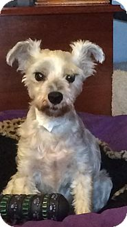 Schnauzer (Miniature) Dog for adoption in LaGrange, Kentucky - Preston