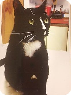 Domestic Shorthair Cat for adoption in Baltimore, Maryland - SLY - COURTESY POST