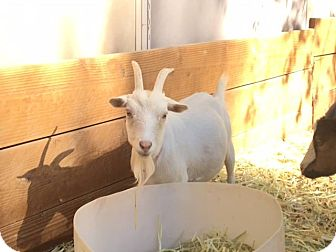 Goat for adoption in Palmdale, California - Snow