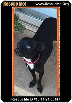 Chihuahua Dog for adoption in Enid, Oklahoma - Smudge