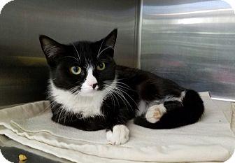Domestic Shorthair Kitten for adoption in Elyria, Ohio - Batty