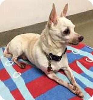 Chihuahua Mix Dog for adoption in Fairfax, Virginia - Zachary
