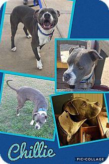 Pit Bull Terrier Mix Dog for adoption in Scottsdale, Arizona - Chillie