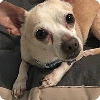 Adopt A Pet :: Brady - Cerritos, CA