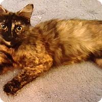 Adopt A Pet :: lace - brewerton, NY