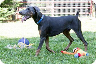 Doberman Pinscher Dog for adoption in Greensboro, North Carolina - COBALT