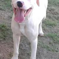American Pit Bull Terrier Mix Dog for adoption in Mesquite, Texas - Bolt