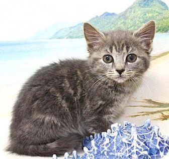 Domestic Shorthair Kitten for adoption in Harrisonburg, Virginia - Fiora