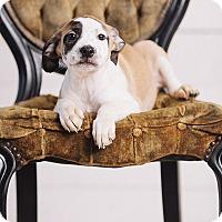 Adopt A Pet :: Emerald - Portland, OR