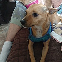 Chihuahua/Miniature Pinscher Mix Dog for adoption in Clarksville, Indiana - Rowdy