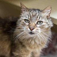 Domestic Mediumhair Cat for adoption in Martinez, California - FRANCINE