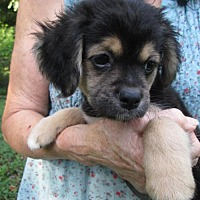 Adopt A Pet :: SIERRA - Lincolndale, NY