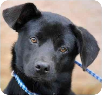 Labrador Retriever/Terrier (Unknown Type, Medium) Mix Dog for adoption in Inman, South Carolina - NeeCee