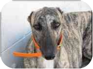 Greyhound Dog for adoption in St Petersburg, Florida - Trifle