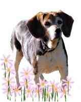 Beagle Dog for adoption in Portland, Oregon - Kammi